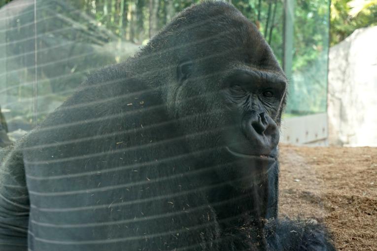 Ape san diego zoo