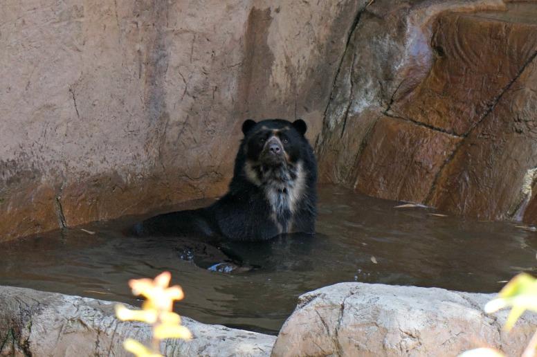 Bear in water San Diego Zoo