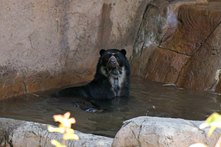 Bear in water San Diego Zoo