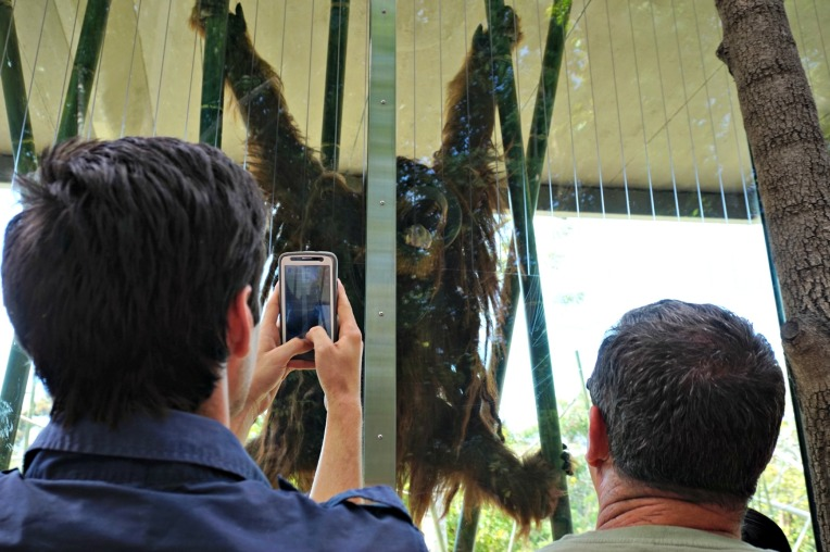 Big hairy ape yawning San Diego Zoo
