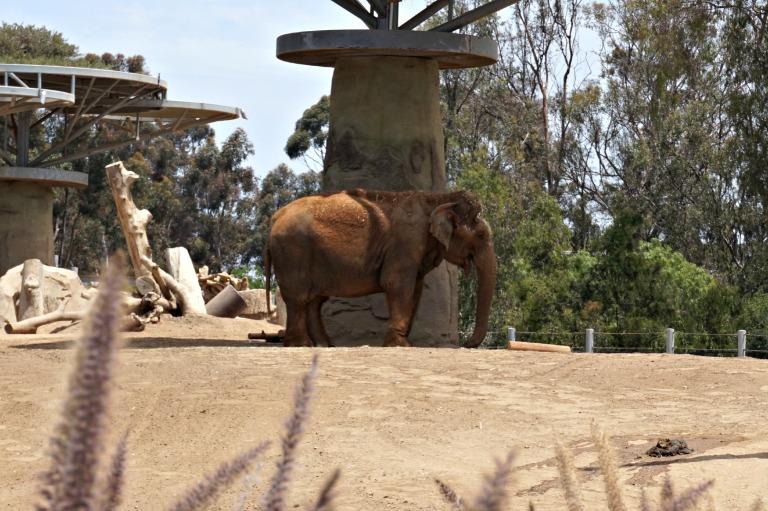 Elephant San Diego Zoo