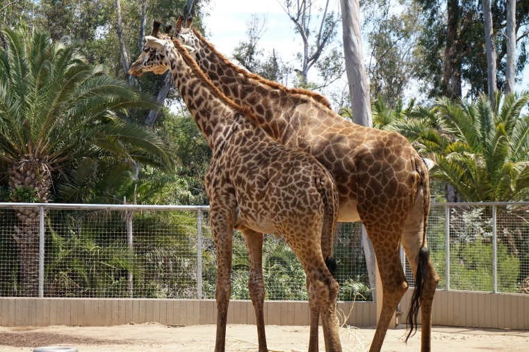 Giraffes friends twins San Diego Zoo