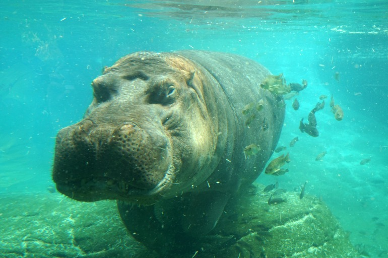 Hippo San Diego Zoo